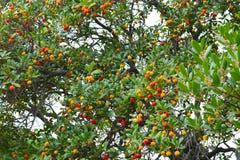 Το δέντρο φραουλών Στοκ Εικόνα