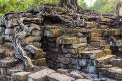 Το δέντρο Banyan στην καταστροφή Angkor Wat, Siem συγκεντρώνει, Καμπότζη Στοκ Εικόνα