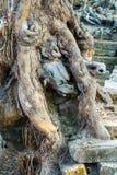 Το δέντρο Banyan στην καταστροφή Angkor Wat, Siem συγκεντρώνει, Καμπότζη Στοκ φωτογραφία με δικαίωμα ελεύθερης χρήσης