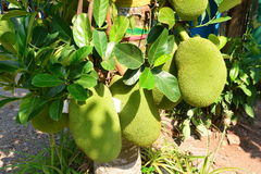 Το δέντρο Jackfruit Στοκ εικόνα με δικαίωμα ελεύθερης χρήσης