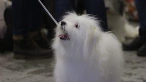 Το έξυπνο και εύθυμο χνουδωτό σκυλί που εξετάζει τον κύριο με την αγάπη και την αφοσίωση, κατοικίδιο ζώο παρουσιάζει απόθεμα βίντεο