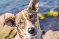 Το έξυπνο σκυλί κοιτάζει Στοκ Εικόνα