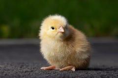 Το λίγο κοτόπουλο Στοκ φωτογραφία με δικαίωμα ελεύθερης χρήσης