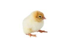 Το λίγο κοτόπουλο Στοκ εικόνα με δικαίωμα ελεύθερης χρήσης