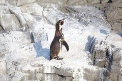 Το λίγο penguin Στοκ φωτογραφία με δικαίωμα ελεύθερης χρήσης