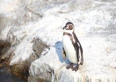 Το λίγο penguin Στοκ Φωτογραφία