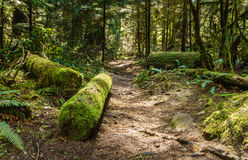 Το ίχνος μέσω των ψηλών δέντρων σε ένα υγρό δασικό κυπαρίσσι πέφτει Βρετανική Κολομβία Καναδάς πάρκων Στοκ Φωτογραφία