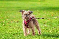 Το αγαπητό κουτάβι Brusselse Griffon θέτει για τη κάμερα στον κήπο Στοκ Εικόνα