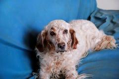 Το αγγλικό σκυλί ρυθμιστών απολαμβάνει το μπλε κρεβάτι Στοκ φωτογραφίες με δικαίωμα ελεύθερης χρήσης