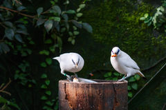 Το αγιοπούλι του Μπαλί (rothschildi Leucopsar) Στοκ Εικόνες