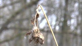 Το αγκάθι πέθανε σχεδόν, επειδή ο χειμώνας έρχεται απόθεμα βίντεο