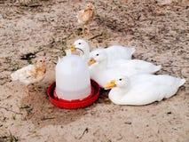 Το αγρόκτημα ανέθρεψε τις αμερικανικές πάπιες Pekin με τα κοτόπουλα Στοκ Εικόνες