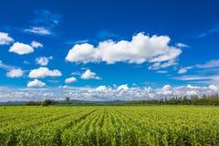 Το αγρόκτημα καλαμποκιού στην ηλιόλουστη ημέρα Στοκ Φωτογραφίες