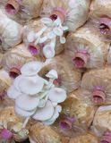 Το αγρόκτημα μανιταριών στρειδιών Στοκ Φωτογραφίες