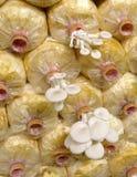 Το αγρόκτημα μανιταριών στρειδιών Στοκ εικόνα με δικαίωμα ελεύθερης χρήσης