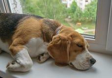 Το λαγωνικό είναι κοιμισμένο να βρεθεί στο windowsill Στοκ Φωτογραφίες