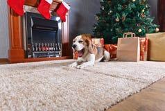 Το λαγωνικό χασμουρητού στον τάπητα με τα δώρα Χριστουγέννων στο μέτωπο Στοκ Εικόνα
