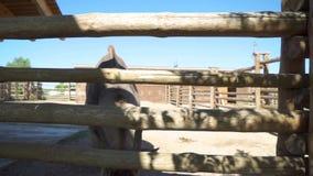 Το αγόρι εξετάζει την αντιλόπη στο ζωολογικό κήπο απόθεμα βίντεο