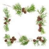 Το αειθαλές δέντρο διακλαδίζεται υπόβαθρο Floral επίπεδο λ Χριστουγέννων κώνων Στοκ Φωτογραφίες