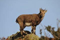Το αλπικό αγριοκάτσικο, ο κύριος των βουνών στοκ φωτογραφία