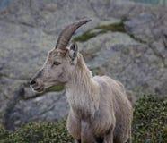 Το αλπικό αγριοκάτσικο, Î¿ κύριος των βουνών στοκ φωτογραφίες με δικαίωμα ελεύθερης χρήσης