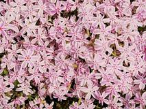 Το αλπικό κρεβάτι λουλουδιών με το ρόδινο άσπρο phlox ανθίζει τον τάπητα Πορφυρό ρόδινο λευκό Στοκ Εικόνες