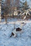 Το αμερικανικό κουτάβι τεριέ Staffordshire κάθεται στο άσπρο χιόνι Ζώα της Pet Στοκ Φωτογραφίες