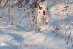 Το αμερικανικό κουτάβι τεριέ Staffordshire τρέχει στο άσπρο χιόνι Ζώα της Pet Στοκ Φωτογραφίες