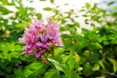 το αμερικανικό λουλούδι ομορφιάς είναι έχει την ανθοδέσμη και το ρόδινο χρώμα στα πέταλα Στοκ Φωτογραφία