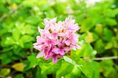 το αμερικανικό λουλούδι ομορφιάς είναι έχει την ανθοδέσμη και το ρόδινο χρώμα στα πέταλα Στοκ εικόνες με δικαίωμα ελεύθερης χρήσης