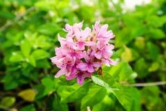 το αμερικανικό λουλούδι ομορφιάς είναι έχει την ανθοδέσμη και το ρόδινο χρώμα στα πέταλα Στοκ Φωτογραφίες