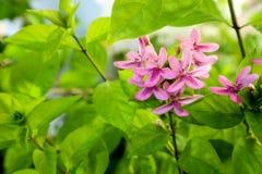 το αμερικανικό λουλούδι ομορφιάς είναι έχει την ανθοδέσμη και το ρόδινο χρώμα στα πέταλα Στοκ φωτογραφίες με δικαίωμα ελεύθερης χρήσης