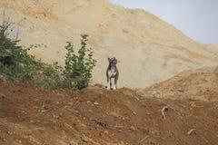 Το αμερικανικό μπουλντόγκ υπερασπίζει το έδαφος στοκ φωτογραφία