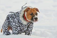 Το αμερικανικό σκυλί τεριέ Staffordshire που ντύνεται το χειμώνα θερμό ντύνει Στοκ φωτογραφία με δικαίωμα ελεύθερης χρήσης