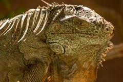Το αμερικανικό iguana είναι ένα μεγάλο, δενδρικό ζώο στοκ φωτογραφία