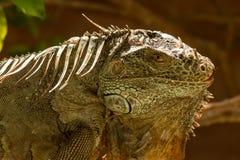 Το αμερικανικό iguana είναι ένα μεγάλο, δενδρικό ζώο στοκ εικόνα