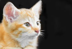 Το αμφισβητήσιμο oragne λίγη γάτα γατακιών βρίσκεται στην ξύλινη κινηματογράφηση σε πρώτο πλάνο ι πατωμάτων Στοκ Φωτογραφίες