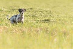 Το ανήσυχο και περίεργο σκυλί κυνηγιού τεριέ του Russell γρύλων κάθεται σε ένα λιβάδι στοκ εικόνες