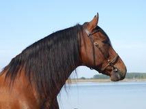 το ανδαλουσιακό επικεφαλής άλογο εβλάστησε τα ισπανικά Στοκ Εικόνες