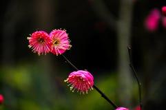 Το ανθίζοντας άνθος δαμάσκηνων στον κήπο Στοκ Φωτογραφία