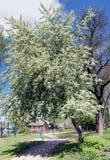 Το ανθίζοντας άσπρο δέντρο κερασιών πουλιών Στοκ φωτογραφίες με δικαίωμα ελεύθερης χρήσης