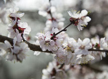 Το ανθίζοντας δέντρο κερασιών Στοκ Εικόνες