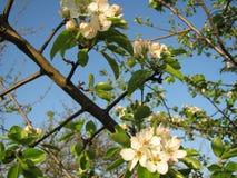 Το ανθίζοντας δέντρο στον κήπο Στοκ Εικόνες