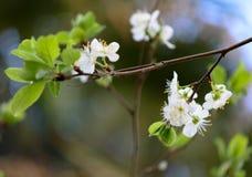Το ανθίζοντας δαμάσκηνο λουλουδιών την άνοιξη στην Ελλάδα Στοκ Εικόνες
