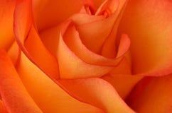 το ανθίζοντας λεπτομερές κινηματογράφηση σε πρώτο πλάνο λουλούδι αυξήθηκε δομή Στοκ Εικόνα