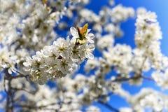 Το ανθίζοντας κεράσι είναι ένα από τα πιό καταπληκτικά θεάματα που μας δίνει την άνοιξη Στοκ Φωτογραφία