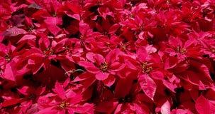 Το ανθίζοντας κόκκινο λουλούδι είναι γοητευτικό φιλμ μικρού μήκους