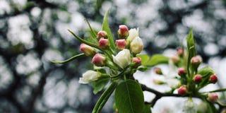 Το ανθίζοντας μήλο ανθίζει την άνοιξη ηλικίας φωτογραφία Στοκ φωτογραφία με δικαίωμα ελεύθερης χρήσης