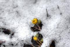 το ανθίζοντας πεδίο ημέρας το αγροτικό καλοκαίρι της Sally λουλουδιών Coltsfoot Στοκ φωτογραφίες με δικαίωμα ελεύθερης χρήσης