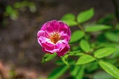 Το ανθίζοντας ρόδινα λουλούδι ή γαλλικά της Rosa Gallica αυξήθηκε σε έναν κήπο Κλείστε επάνω και τοπ άποψη γωνίας στοκ εικόνες με δικαίωμα ελεύθερης χρήσης